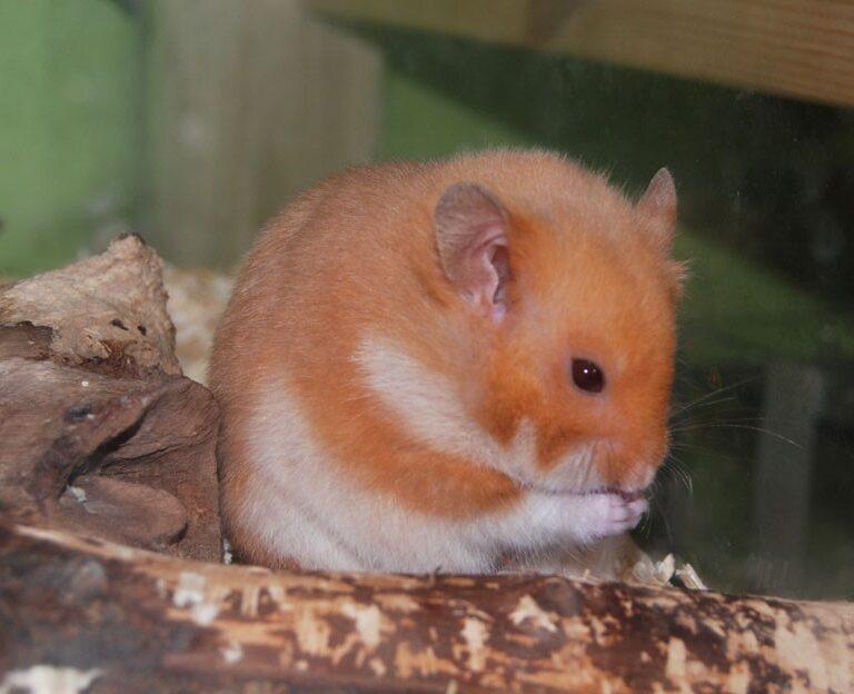 Hamsterin Elinikä