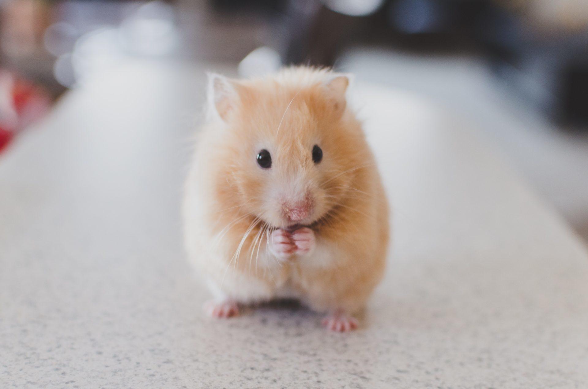 Hamsterin hoito on antoisaa ja suhteellisen vaivatonta.