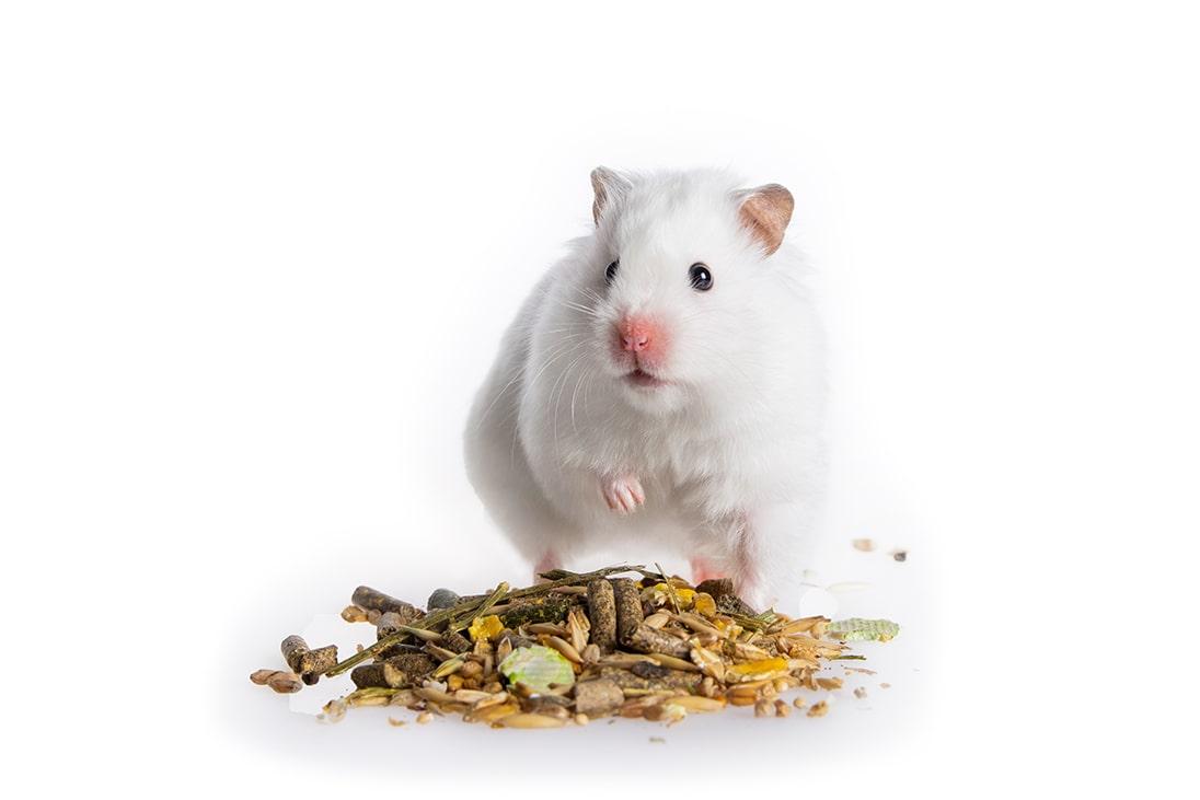 Hamsteri syömässä siemenseosta
