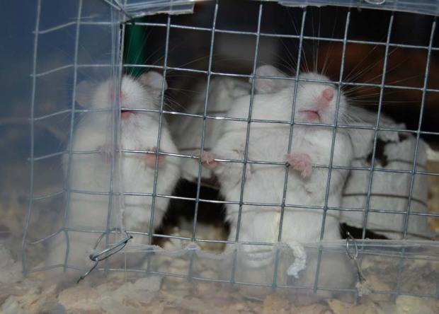 Tylsistyneet hamsterit jyrsivät usein asumuksen verkkoja tai pinnoja