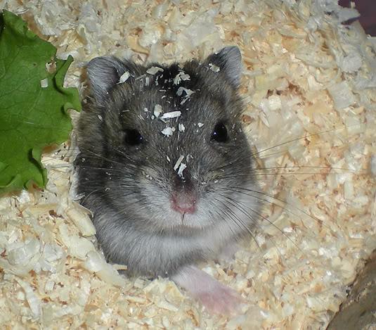 Kaivaminen on hamstereille tärkeä luontainen tarve